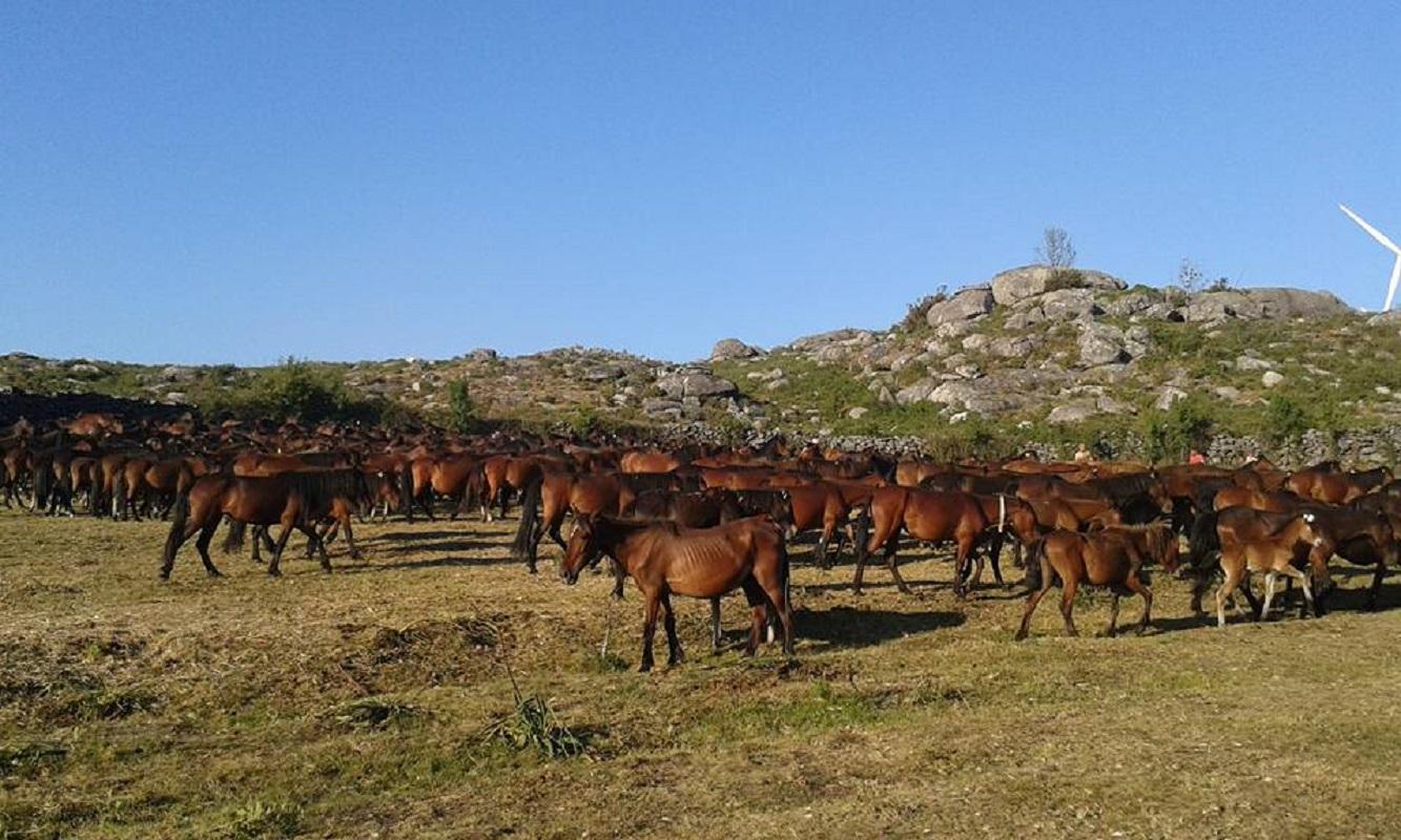 Passagem do rali por Viana obriga a recolha de 400 garranos criados em Santa Luzia