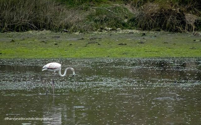 Viana do Castelo recebe a visita de um Flamingo