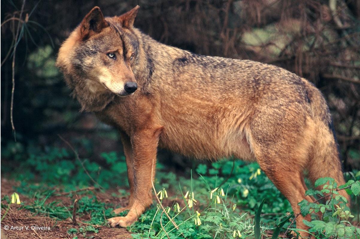 Casa da biodiversidade em Coura quer ajudar a encontrar equilíbrio no conflito entre homem e lobo