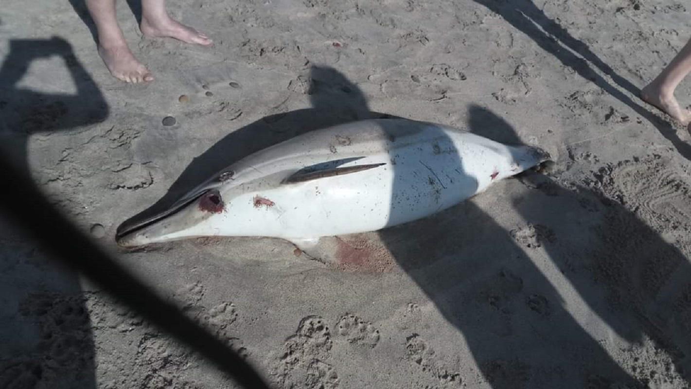 Cadáver de golfinho encontrado na Amorosa levado por biólogos para apurar causas da morte