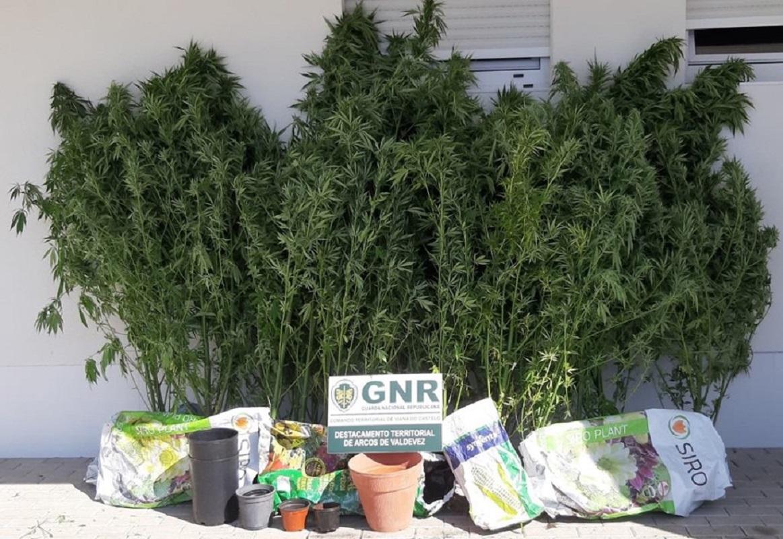 Homem de 62 anos detido em Arcos de Valdevez por cultivo de cannabis