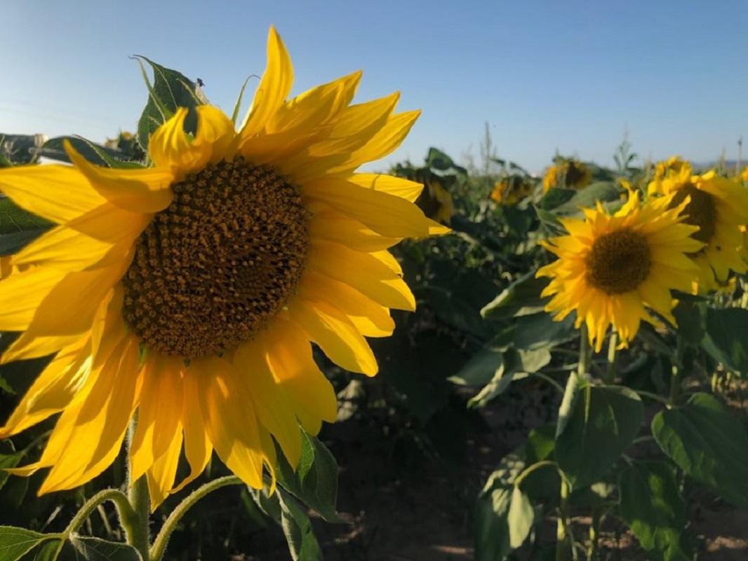 Parceria entre proprietária de Viana e empresário de Barcelos faz nascer 1ª plantação de girassóis em Carreço