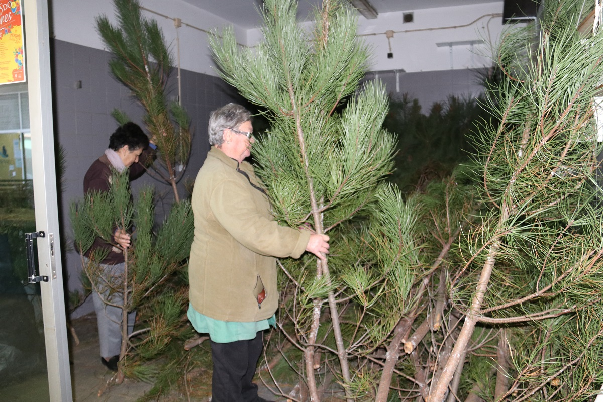 Pinheiros naturais para o Natal disponíveis no mercado municipal de Viana