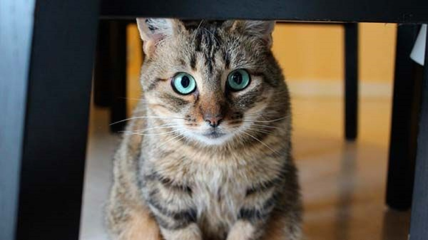 Sabia que o seu gato também pode ser destro ou esquerdino?