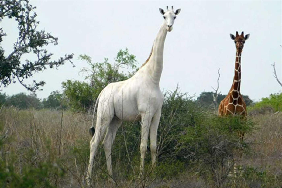 Caçadores furtivos matam única girafa branca fêmea conhecida