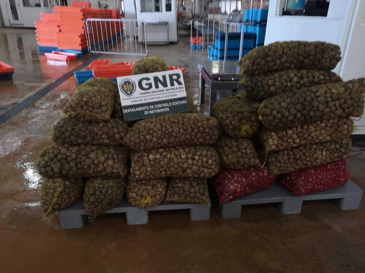 Cerca de 1.200 quilos de bivalves apreendidos em operação de fiscalização da GNR na A3 em Valença