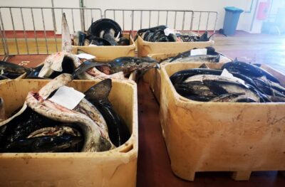 Apreendidas 10 toneladas de tintureira e tubarão anequim em Viana do Castelo